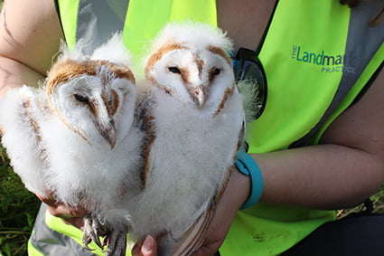 Barn owl breeding success in Avonmouth!