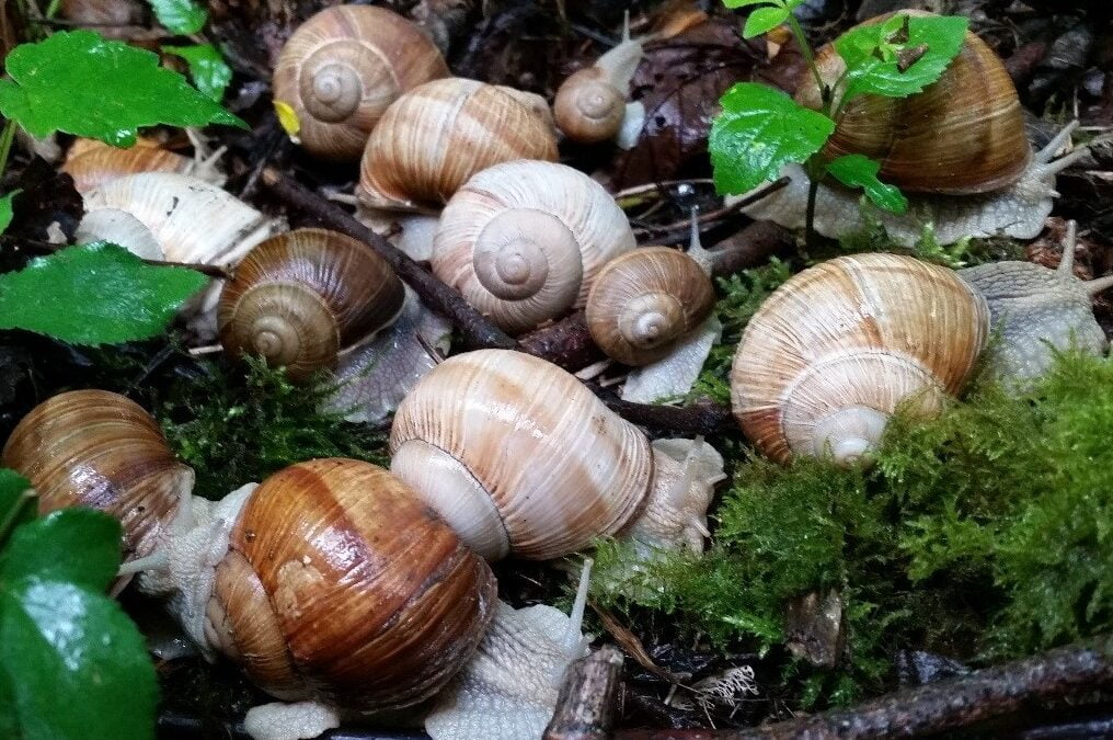 Protected species and development: Roman Snails