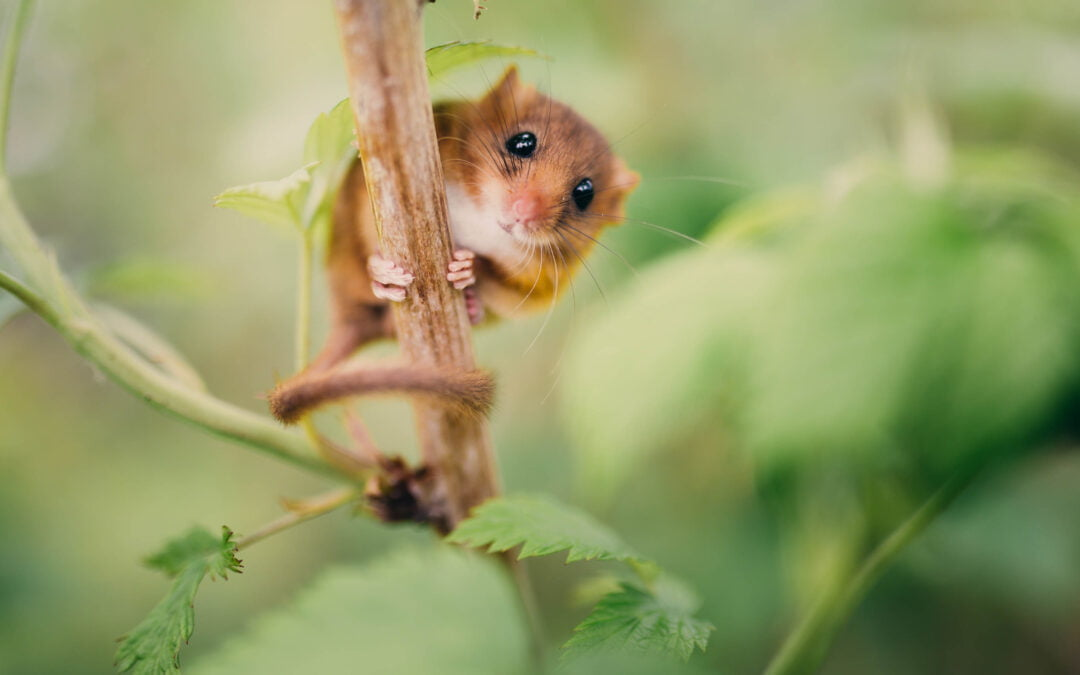 Round up 2015 – Part 3: Delirious over Dormice
