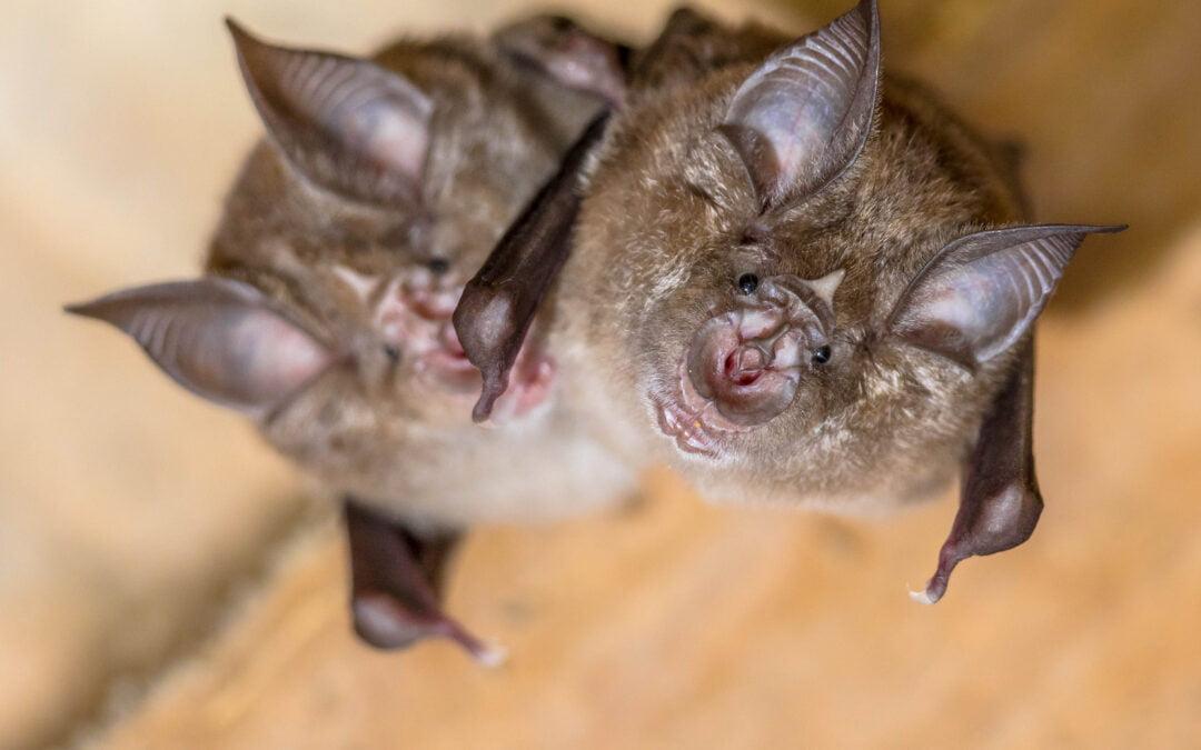 Homeowners Guide to Bat Surveys