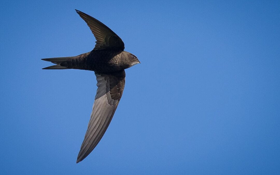 Return of the Swifts