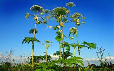 Invasive Species Series: Giant Hogweed