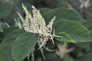 Invasive Species Series: Japanese Knotweed